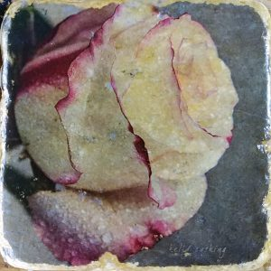 White Rose 2 Coaster by Kelly Cushing