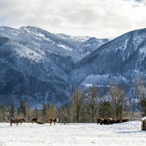 Cows in Snow, Columbia Valley, BC