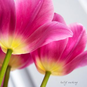 3 Pink Tulips on White