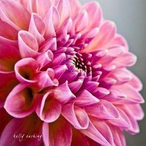 Pink Dahlia 3