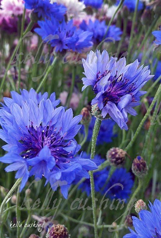 Blue Cornflowers by Kelly Cushing