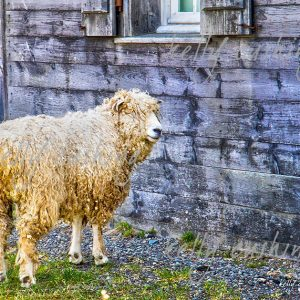 Sheep at Louisbourg Fortress in Nova Scotia