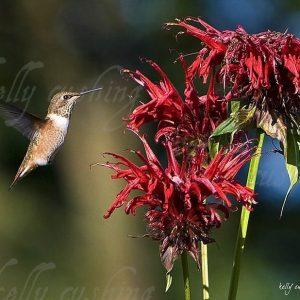 Hummingbird at Bee Balm
